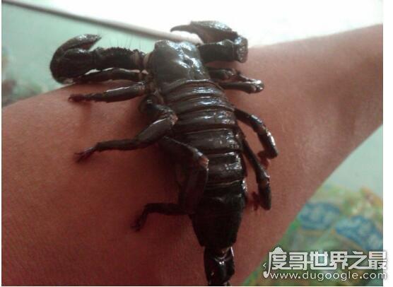 世界上最大的蝎子,非洲帝王蝎(成体能够长到30厘米以上)
