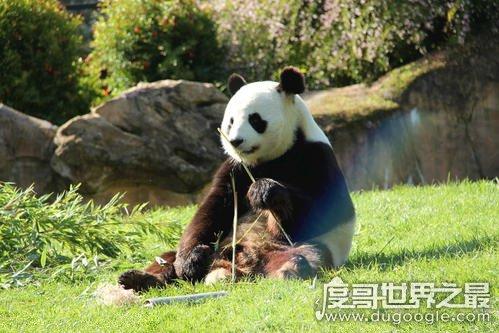 大熊猫吃肉吗,荤素照样通通都吃(主食仍然是竹子)