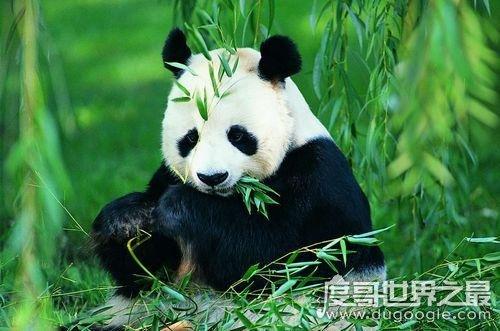 大熊猫吃肉吗 大熊猫吃肉吗,荤素照样通通都吃(主食仍然是竹子)
