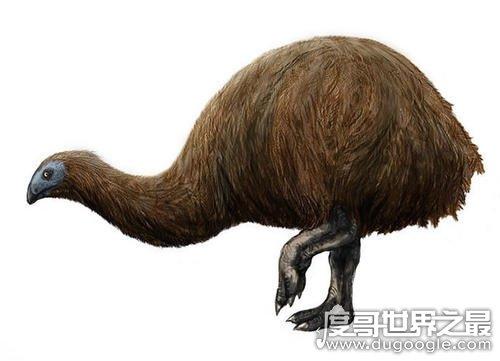 世界上最高的鸟,恐鸟(身高3米但却不会飞/早已灭绝)