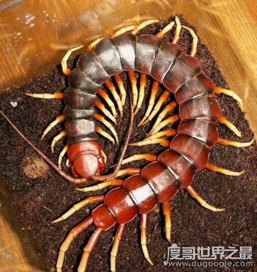 """中国红巨龙蜈蚣,一种全身深红在古籍中被称为""""天龙""""的蜈蚣"""