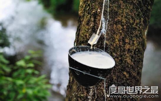 世界上最神奇的树牛奶树,真的会流奶(汁液营养和牛奶差不多)