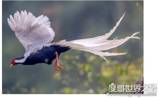 世界上最后一只凤凰,有人在黑龙江拍到凤凰(羽毛清晰可以更快见)