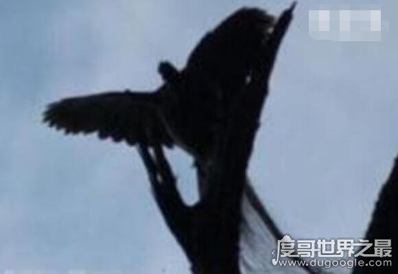 世界上最后一只凤凰,有人在黑龙江拍到凤凰(羽毛清晰�m然不分先后可见)