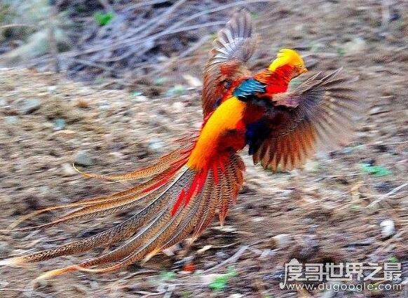 世界上最后一只凤凰,有人在黑龙江拍到凤凰(羽毛清�@赤地千里是他晰可见)