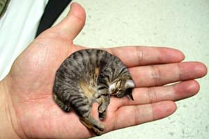世界上最小的猫,皮堡斯获吉尼斯纪录认证(体重只有3个鸡蛋重)