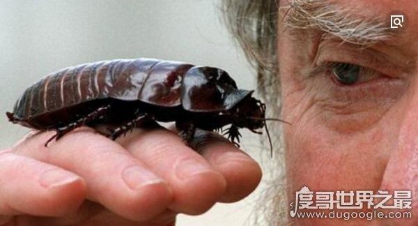 世界上最大的蟑螂,犀牛蟑螂(体长10cm/寿命长达十年)
