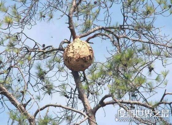 世界上最大的蚂蜂窝,切开墙壁全是密密麻麻的马蜂(附视频)(www.20ing.com)