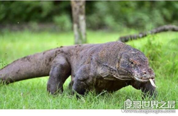 世界上最大的蜥蜴,科莫多巨蜥(体长超过3米性情超凶猛)