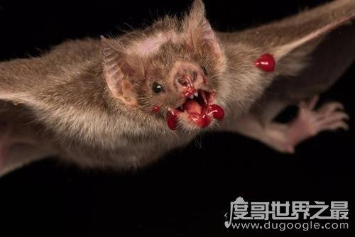 世界上最凶猛的蝙蝠,面容丑恶的吸血蝙蝠(一生吸血100升)