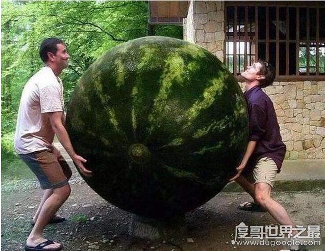 世界上最小的西瓜,拇指西瓜重6g价格80元/斤(最重西瓜316斤)