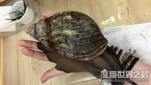 世界上最大的蜗牛,非洲大蜗牛比手掌还大(长39.3cm/重900g)