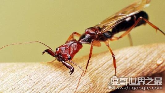 世界上毒性最强的蚂蚁子弹蚁,叮咬像子弹击中(疼痛指数第一)