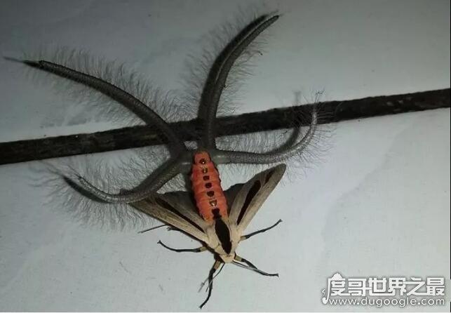 """世界上最恐怖的飞蛾,黑条灰灯蛾(一种来自""""地狱""""的生物)"""