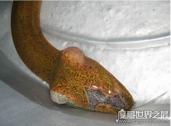 有剧毒的望月鳝竟真存在,吃了会立马毙命(只在月圆夜现身)
