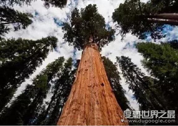 世界上最大的树,雪曼将军树(体积有1487立方米/高83.8米)