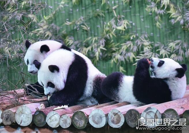 大熊猫生活在什么地方,海拔2600-3500的竹林(国家一级保护动物)