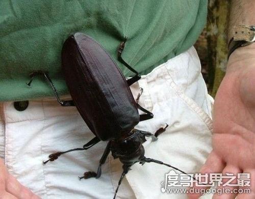 世界上最神秘的生物,泰坦甲蟲(成年不再進食/從未發現幼蟲)
