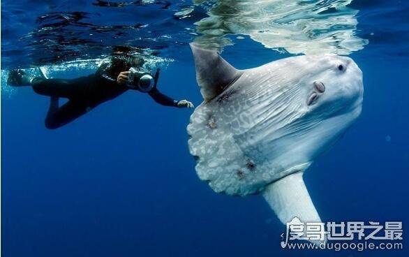 翻车鱼有多傻,能产卵3亿的它们会因晒太阳晒死(是谣言)