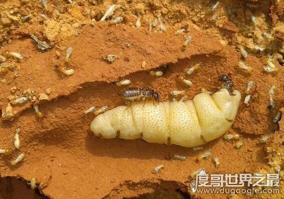 白蚁蚁后是怎么产生的,详解母蚁建立帝国成为蚁后的过程