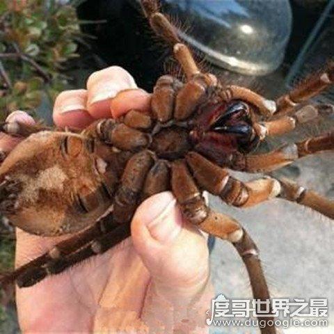 世界上最大的蜘蛛,巨型狼蛛体型和人脸一样大(以老鼠为食)