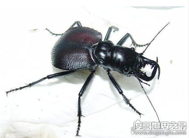 世界上最大的食肉甲虫,大王虎甲(能够轻松捕食老鼠和蜥蜴)