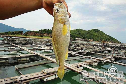 中国大黄鱼之乡是哪儿,安徽省宁德市蕉城区(人工养殖量全国第一)