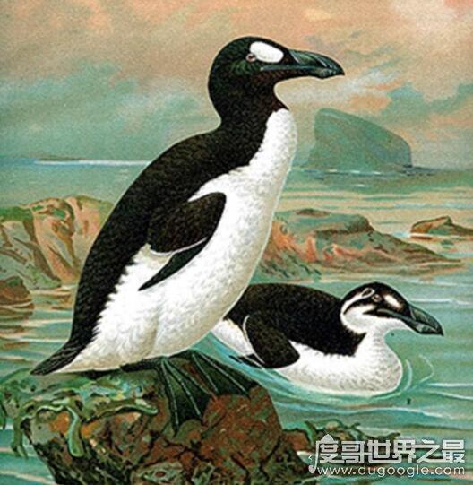 北极有企鹅吗,北极大企鹅因为人类的捕猎(在1844年就灭绝了)