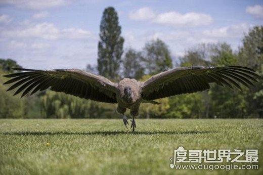 新橙的雕排名,安第斯神鹫世界第一(体重30斤/翼展3米)