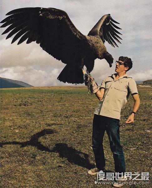 世界上最大的雕排名,安第斯神鹫世界第一(体重30斤/翼展3米)