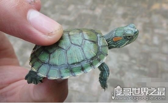 巴西龟能长多大,一般雌性龟体重可以长到4斤重