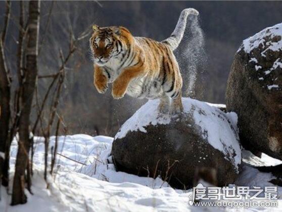 世界上最大的老虎,西伯利亚虎也称东北虎(重量高达350公斤以上)