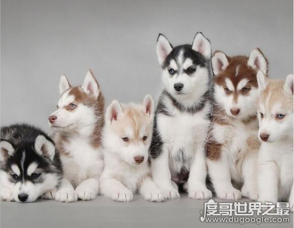世界十大名犬盘点,第1名竟然是中亚牧羊犬(杜宾犬仅排第3)