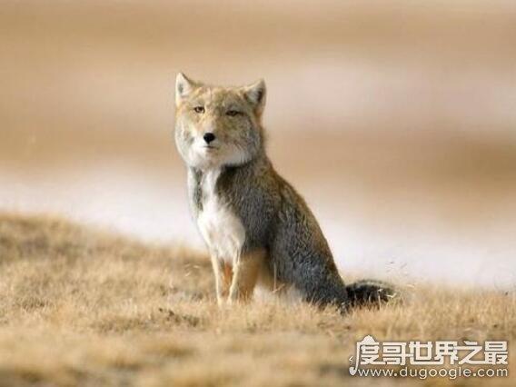 世界上最丑的狐狸,藏狐(不仅长得不好看还喜欢抢别人洞穴)