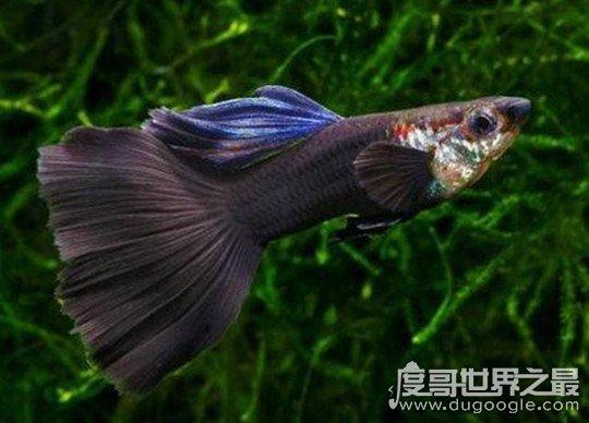 孔雀鱼怎么分公母,4招就能解决(公鱼尾巴更大/颜色更鲜艳)