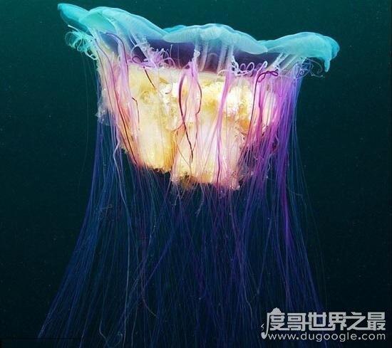 世界上最大的水母,北极霞水母(直径达2.5米/触须长36米)