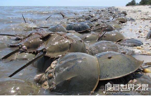 世界上最古老的生物,马蹄蟹已经在地球上存在数亿年了