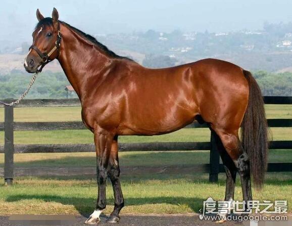 世界上最名贵的马,埃及纯血阿拉伯马有价无市(全球仅数千匹)