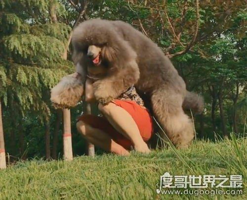 世界上最大的泰迪,巨型泰迪体长1.6米/重120斤(智商排第二)