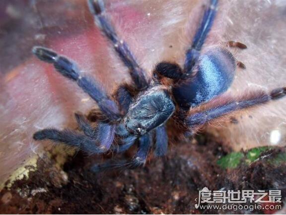 世界十大巨型蜘蛛盘点,亚马逊巨人食鸟蛛最长可达30厘米