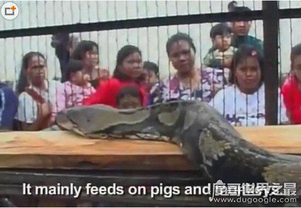 世界上最长的蟒蛇,网纹蟒(体长19米/体重447公斤)