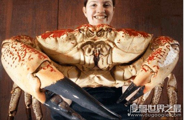 世界上最重的螃蟹,皇帝蟹(又名巨大拟滨蟹)重达72斤/长1.5米