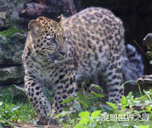 世界上最大豹子,远东豹又名金钱豹(长近1.4米/重130公斤)
