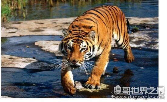 老虎最怕什么,最怕的是人(因为人类它们数量急剧减少)