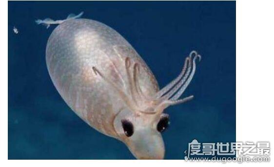 苹果彩票福利网站最小的乌贼,细乌贼体长仅1厘米(主要分布于太平洋)