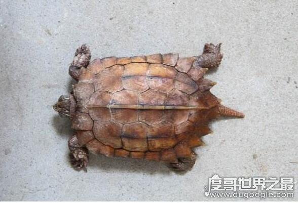 世界上最贵的宠物龟排名,排名第一的黄化斑纹草龟守家880万元