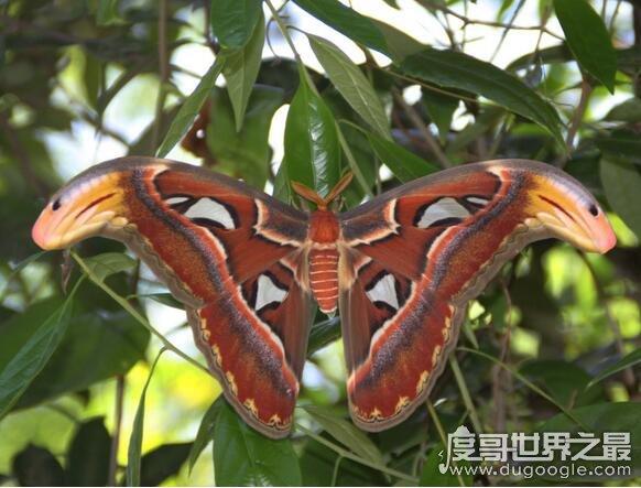 苹果彩票福利网站最大的飞蛾,乌桕大蚕蛾翅展可达22厘米(比手掌还大)