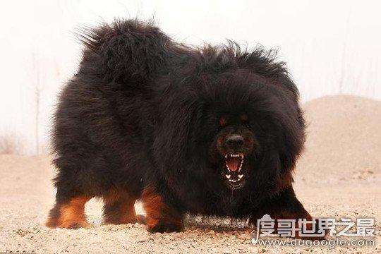 藏獒和狼谁厉害,藏獒高大的体型更占优势(群狼完虐藏獒)