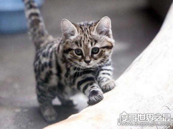 体型最小的野生猫科动物,黑足猫(但却能捕杀大4倍的猎物)