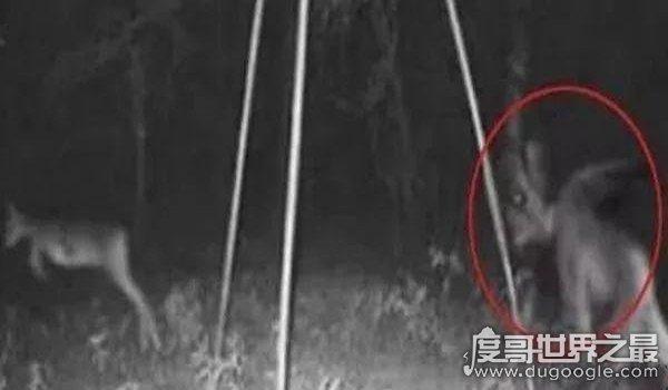 吸血怪兽卓柏卡布拉真实图片,样貌恐怖会吸干牲畜血液(未证实)